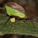 LEAF CRICKET, Tirimbina